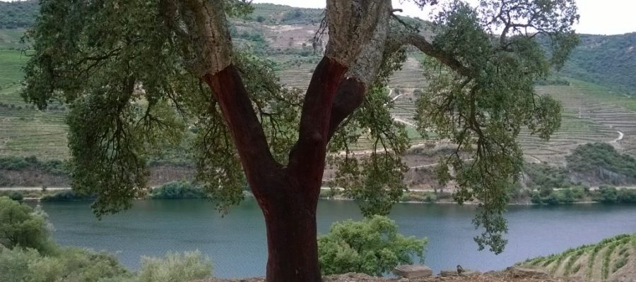 Douro Valley Cork Trees