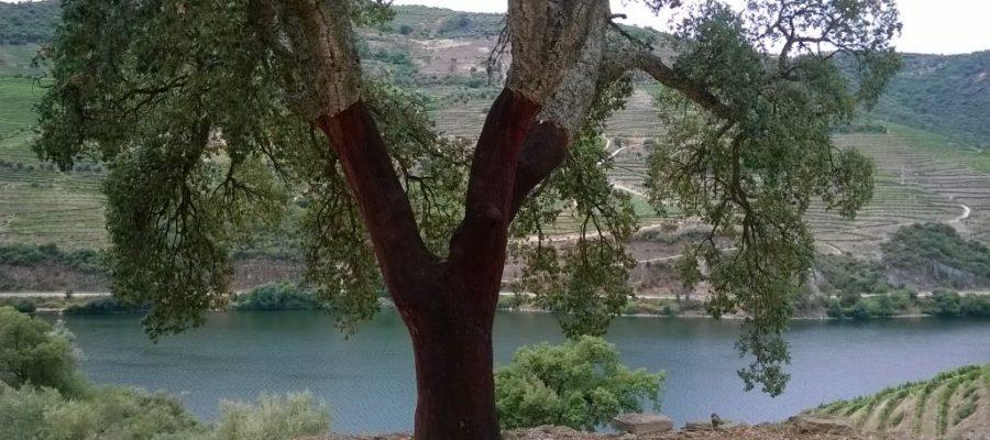 Douro Valley Cork Trees